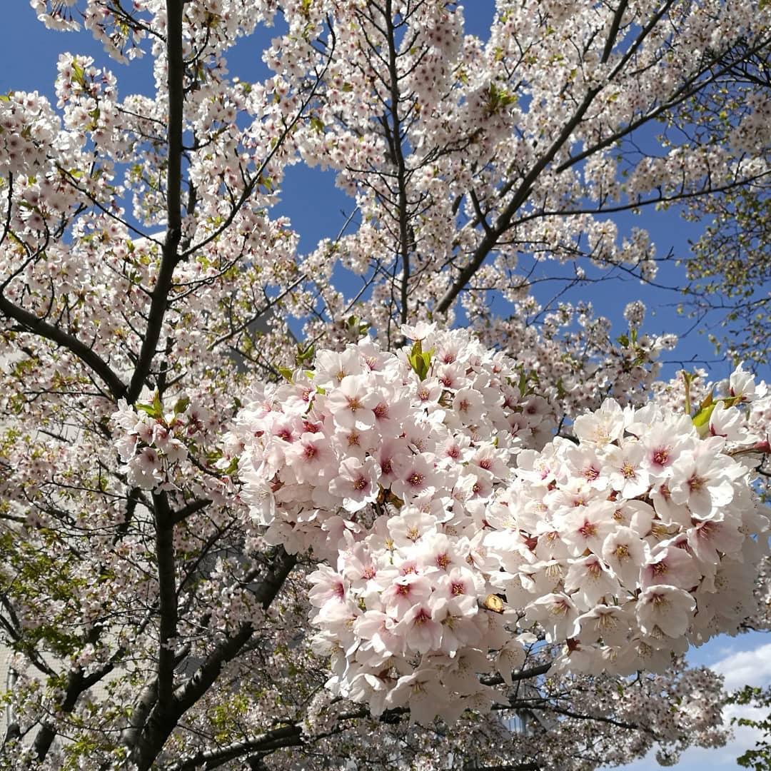 桜見れたーここ後、3年で出ないとダメなのが残念#北海道の桜#札幌の桜@hokkaido_time